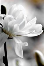 iPhone壁紙のプレビュー 白いマグノリアの花