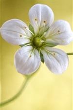 White petals flower close-up, stamens