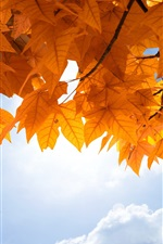 Preview iPhone wallpaper Yellow maple leaves, sky, clouds