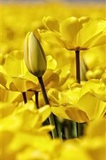 Preview iPhone wallpaper Yellow tulips blooms, petals macro photography