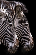 Preview iPhone wallpaper Zebra, stripes, black background