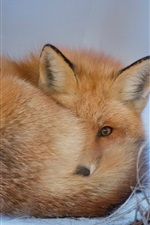 A fox rest in the snow, winter