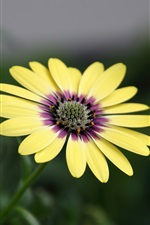 Preview iPhone wallpaper African daisy, yellow osteospermum