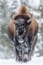 Preview iPhone wallpaper Animals, buffalo in the winter, snow