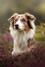 Preview iPhone wallpaper Australian shepherd, dog, bokeh