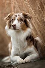 Australian shepherd, dog, rest, reeds
