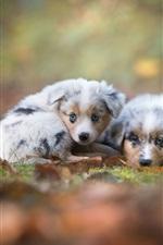 Pastor australiano, dois filhotes de cachorro cute