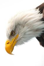 Preview iPhone wallpaper Bald eagle, wildlife, beak, eye, white background