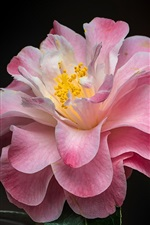 Preview iPhone wallpaper Beautiful pink camellia, flower macro photography