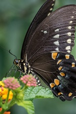 Preview iPhone wallpaper Black butterfly, wings, insect, yellow flowers
