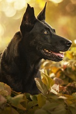 Preview iPhone wallpaper Black dog, face, leaves, bokeh