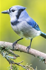 Preview iPhone wallpaper Blue feathers bird, spruce