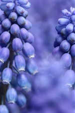 Preview iPhone wallpaper Blue flowers, hyacinth macro photography