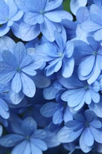 Preview iPhone wallpaper Blue hydrangea close-up