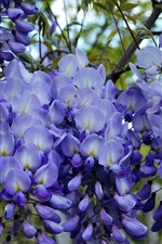 Preview iPhone wallpaper Blue wisteria flowers, flowering, spring