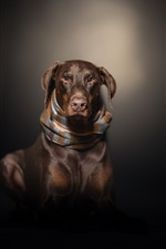 Preview iPhone wallpaper Brown dog, scarf, darkness