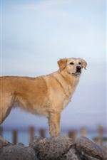 Cachorro marrom, pedras, farol