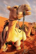 Preview iPhone wallpaper Camels rest, desert