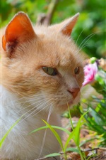Preview iPhone wallpaper Cat rest, pink flowers