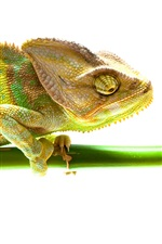 Preview iPhone wallpaper Chameleon, bamboo, white background