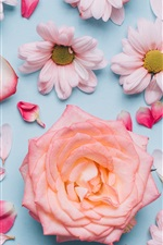 Preview iPhone wallpaper Chrysanthemum and rose, petals, pink, romantic style