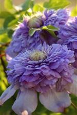 iPhone壁紙のプレビュー クレマチス、紫色の花、バックライト