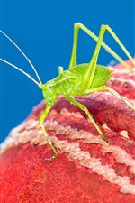 Preview iPhone wallpaper Cricket ball, green insect