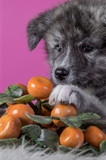 Preview iPhone wallpaper Cute dog and oranges