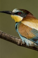 Preview iPhone wallpaper European bee-eater, bird, back view