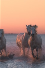 Preview iPhone wallpaper Five horses running in the water, dusk