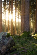 Preview iPhone wallpaper Forest, trees, moss, sunshine, morning