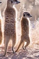 Four meerkats, family, grass