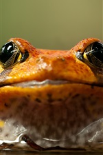 Preview iPhone wallpaper Frog front view, water