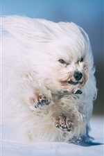 Preview iPhone wallpaper Furry white dog running, snow, winter