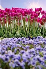 Garden, flowers, pink tulips, spring