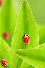 Preview iPhone wallpaper Green leaves, many ladybugs