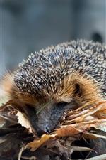 Hedgehog, leaves