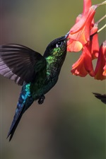 Preview iPhone wallpaper Hummingbird, two birds, flight, wings, flowers