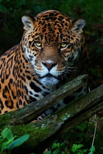 Jaguar, thickets, summer