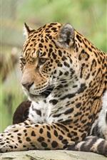 Preview iPhone wallpaper Jaguar, wild cat, animals photography