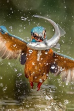 Preview iPhone wallpaper Kingfisher catch a fish, wings, water splash