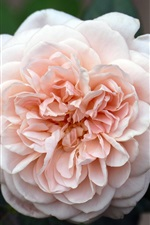 Preview iPhone wallpaper Light pink rose flowering