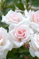 Light pink roses, garden flowers
