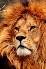 Lion, face, mane