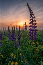 Preview iPhone wallpaper Lupin, purple flowers, dawn