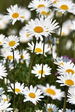 Many chamomile, white flowers
