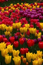 Preview iPhone wallpaper Many tulip flowers, garden, pink, yellow, red, purple