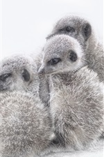 Preview iPhone wallpaper Meerkats cubs, white background