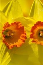 iPhone fondos de pantalla Narciso macro fotografía, pétalos amarillos