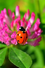 Preview iPhone wallpaper Orange ladybug, pink flowers, insect